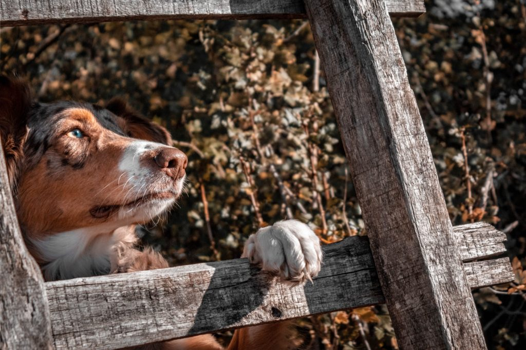 Dog with paw on wooden fence
