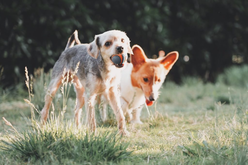 Two dogs playing in grass together
