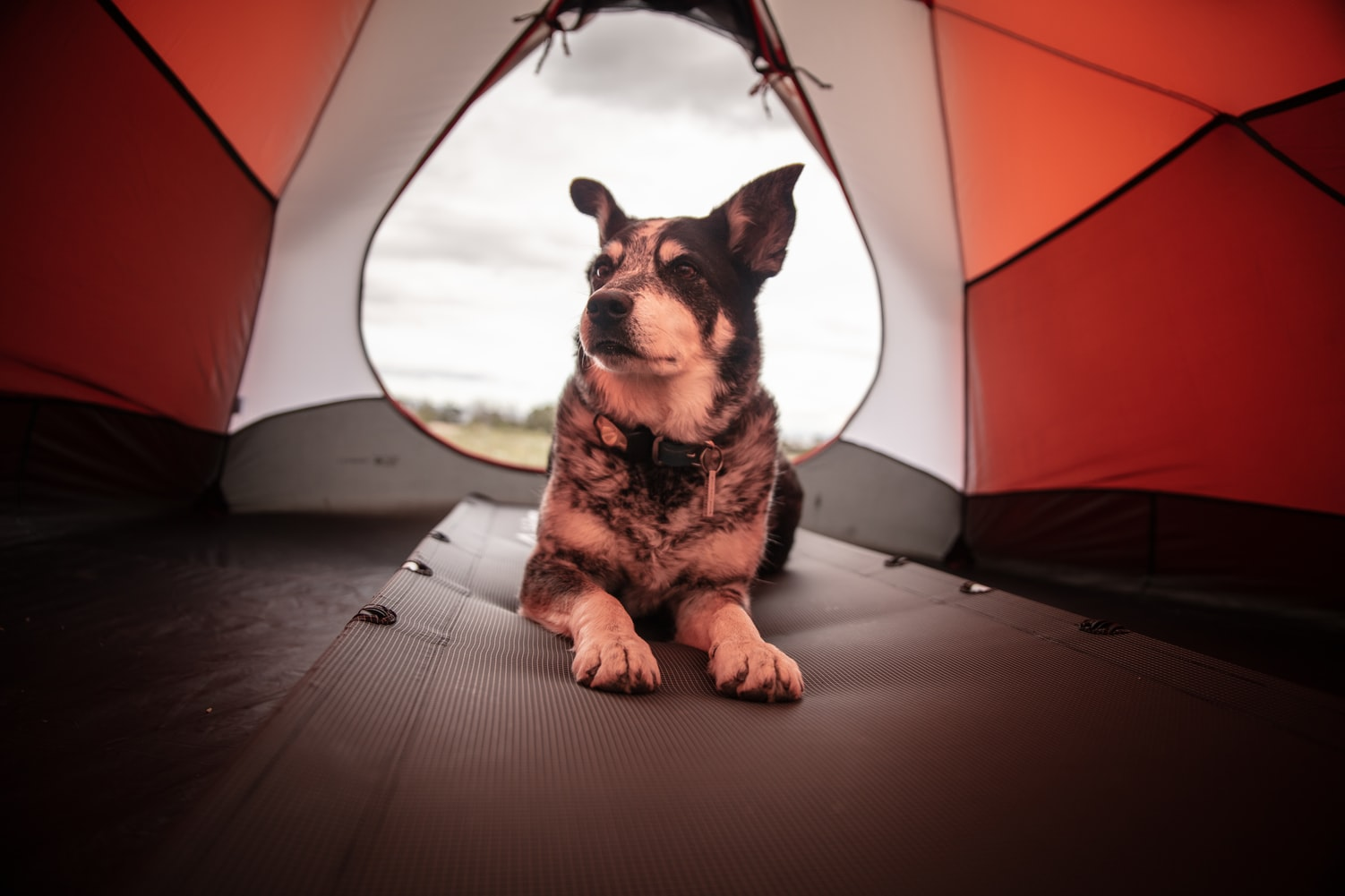 Dog laying in tent